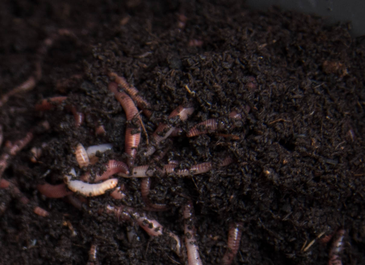 Tiger worms in vermicomposting wormery bin